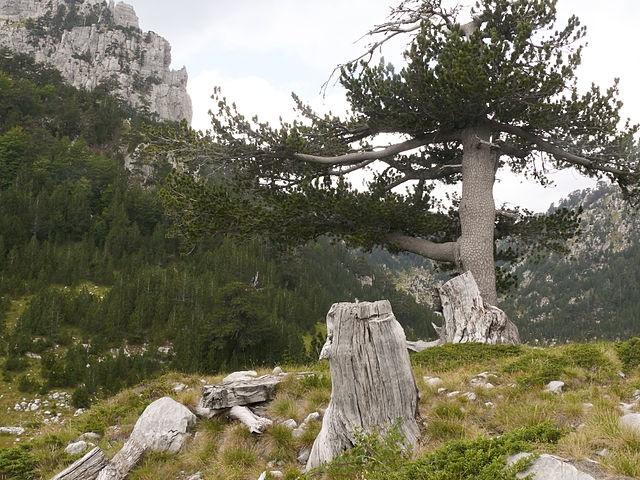 Боснийская сосна